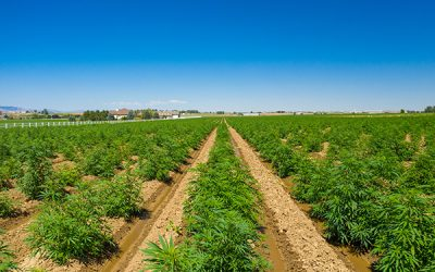 Hemp Crop Insurance Coming Into Focus