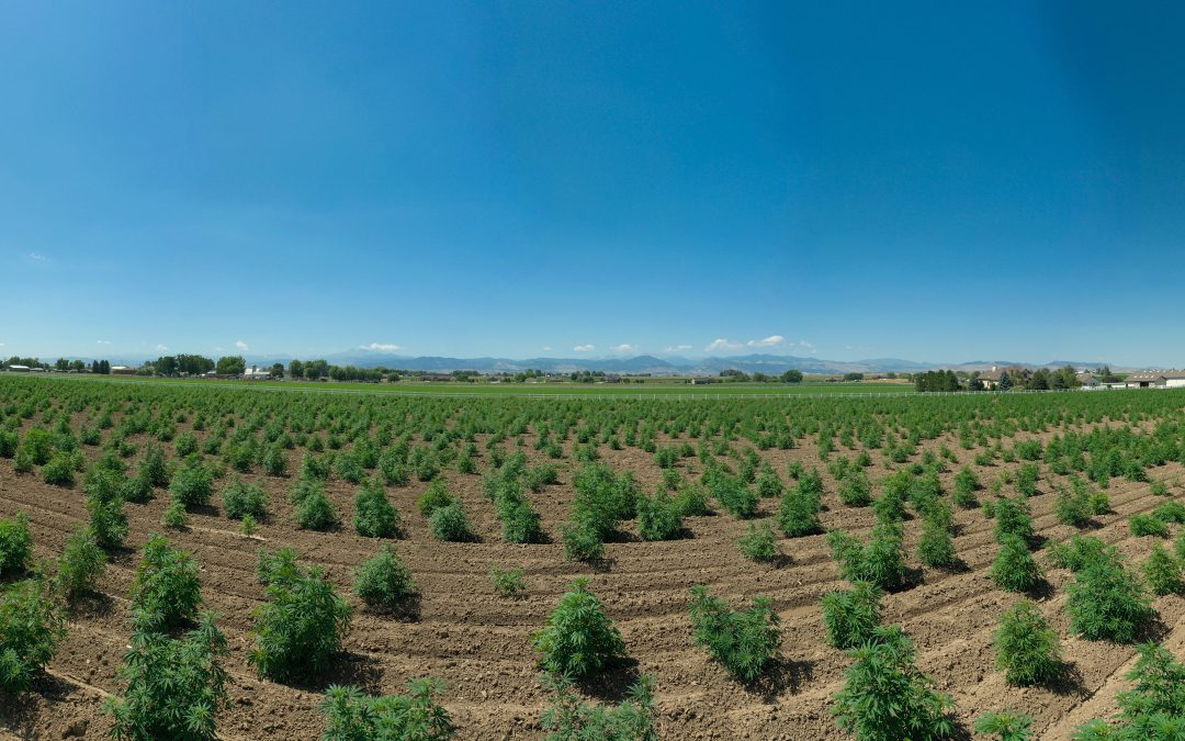 Panorama of hemp field