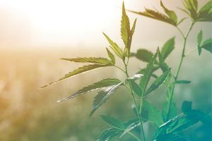 6 Reasons to be Excited about HNP's Hemp Seed Line-Up